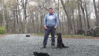 Lewis   Black Labrador Retriever Puppy Training