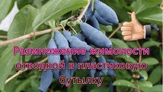 видео Розмноження живцями рослин, винограду, смородини.