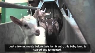 Animal Equality: Cruel Italian Lamb Meat Industry