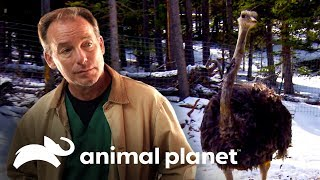 Tratando un avestruz herido | Dr. Jeff, Veterinario | Animal Planet