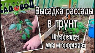 Высадка рассады в грунт (шпаргалка для огородника)