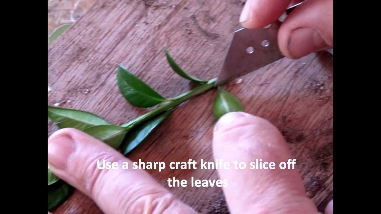 How to take box (buxus) cuttings - YouTube