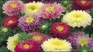Август! Астры! Очень красивое слайд-шоу из осенних цветов!
