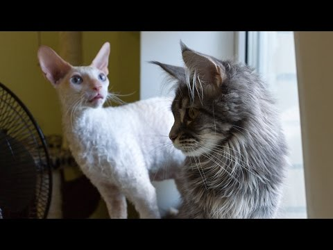 Maine Coon VS Cornish Rex - Funny Compilation