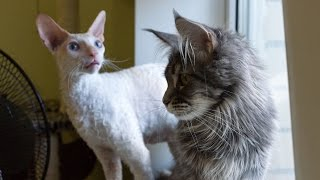 Maine Coon VS Cornish Rex  Funny Compilation