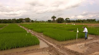 Japonya& 39 nın e kakashi sistemiyle Kolombiyalı çiftçiler pirinç üretimlerini nasıl artırdı