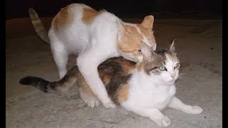 crazy cats mating.