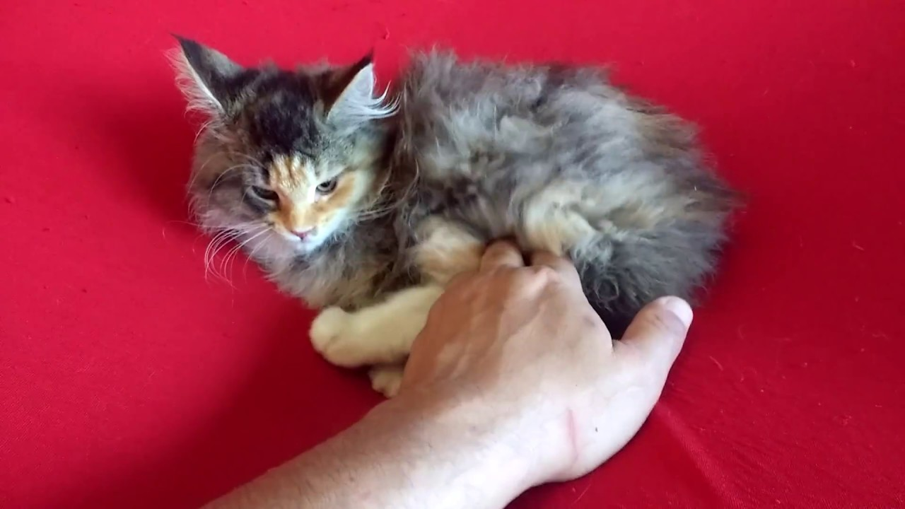 Gatil maine coon df