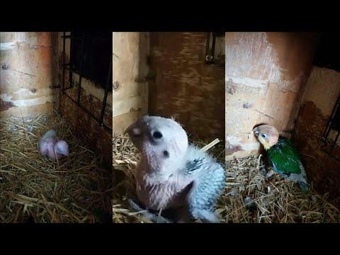 Pionites Xanthurus Growth    Caique Parrot Growth