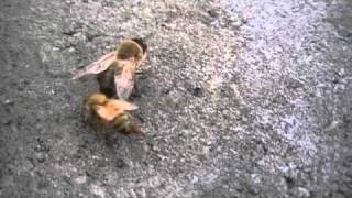 Italian honey bee dragging a drone out of the hive - (the autumn drone removal)