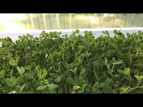 How to grow perfect pea shoots