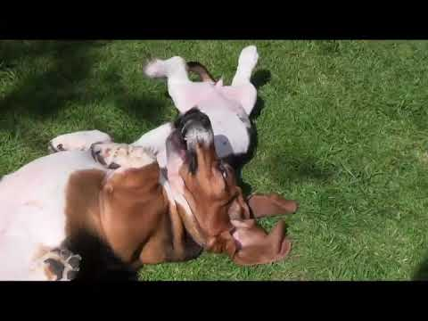 5 year old Basset Hound plays with new puppy