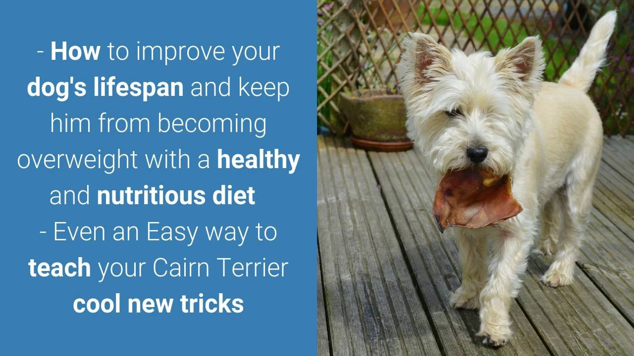 How To Housetrain Cairn Terriers - FREE Mini-Course*** | How To ... | Potty Training My Cairn Terrier Puppy