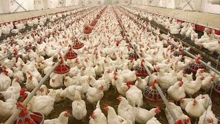 poultry farming business in pakistan part 1