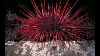 Khám phá choáng loài nhím biển đỏ rực, sống thọ nhất Trái đất