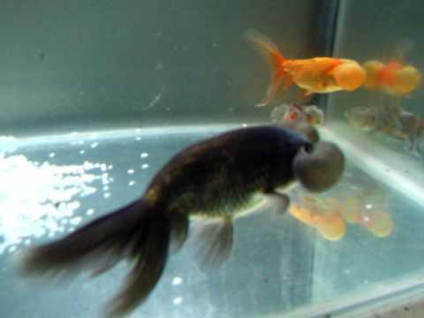 SOLD:  Bubble Eye Goldfish (AU Only)