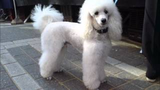 Dogs 202 - Poodle