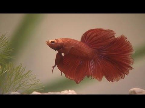 การปฏิสนธิของปลากัด วิทยาศาสตร์ ป.5