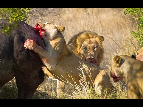 Lions Hunt Buffalo - Fascinating facts in the wild