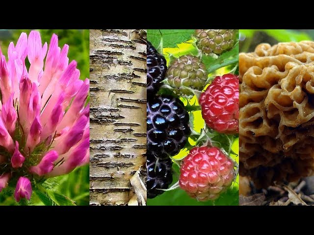 Wild Food Foraging- Season 2- Grape, Raspberry, Clover, Morel, Cedar, Ramps, Birch