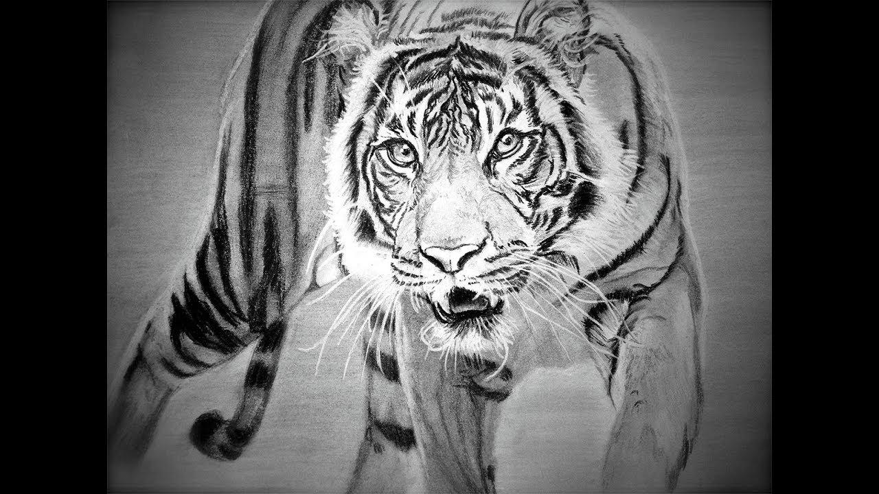White Siberian Tiger Drawing