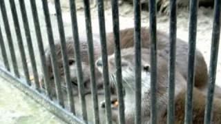 Eurasian otters речная выдра