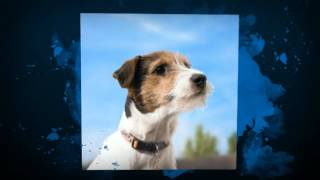 Potty Training Jack Russell Terrier