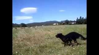Le travail des chiens de troupeau - Le Petit Campsois - var paca