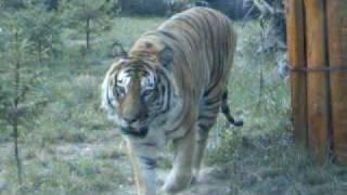 wrocławskie Zoo - tygrysek
