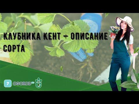 Клубника Кент — описание сорта