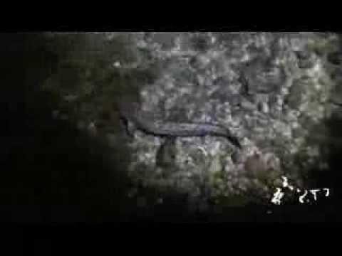 Aalrutten verführt