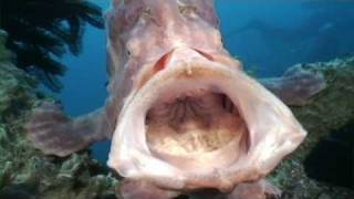Amazing big mouth Frogfish!  Giant Frogfish opens wide and yawns! Giant Frogfish does an amazing yawn showing off it's huge mouth!  To license any of this footage please contact stockfootage@scubazoo.com