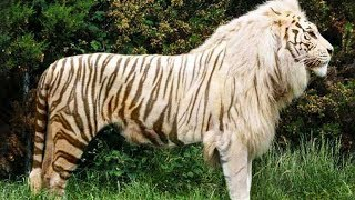10 Awesome Hybrid Animals That Actually Exist YouTube Videos