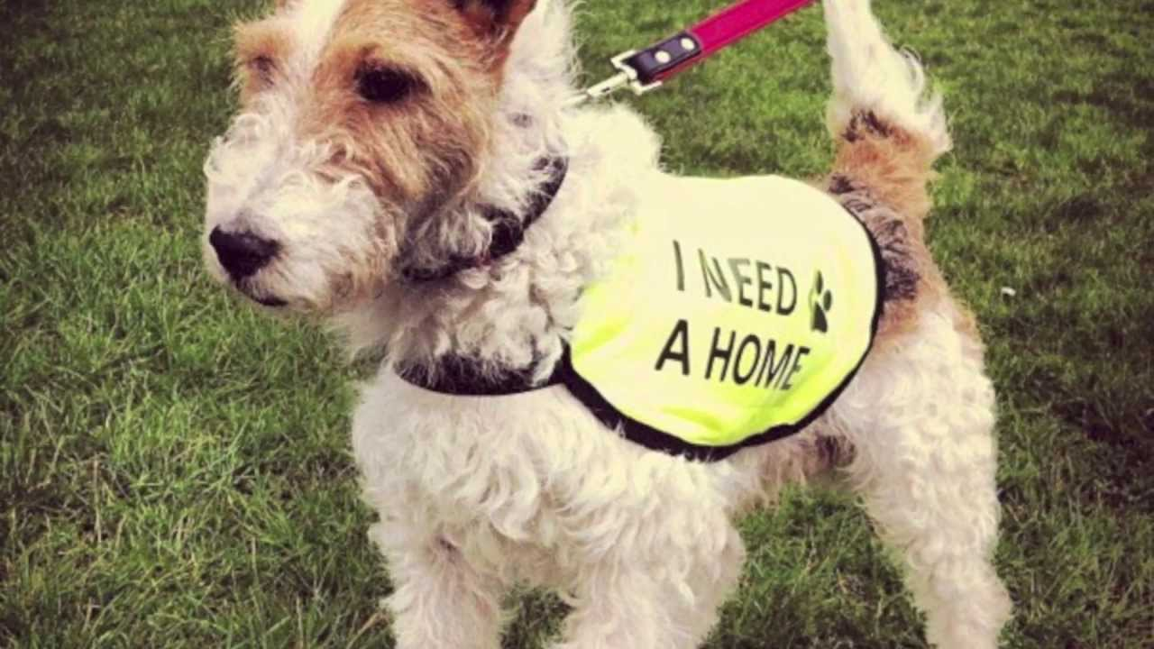 Milou The Wire Fox Terrier Rescue - Adoptable from Terrier SOS UK ...