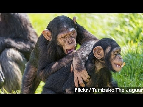 Scientists Translate Gesture Language Of Chimpanzees