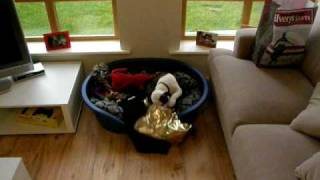 Staffordshire Bull Terrier Puppy Opening First Xmas Presents