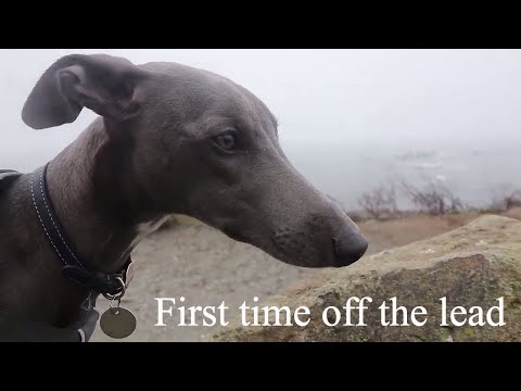 First time off the lead! - Camping with Jasper the Whippet pt2