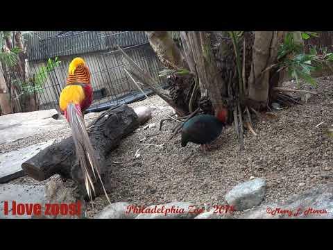 Philadelphia Zoo Golden Pheasant Courting Roul Roul