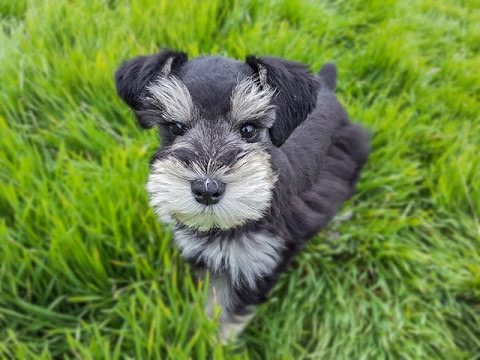 Trained Miniature Schnauzer puppy - SO CUTE!!