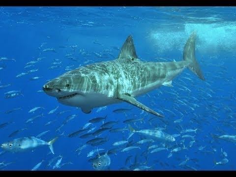 À la poursuite du grand requin blanc