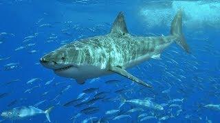 Baixar À la poursuite du grand requin blanc
