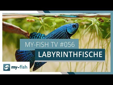 Labyrinthfische - die Überlebenskünstler im Aquarium | my-fish TV
