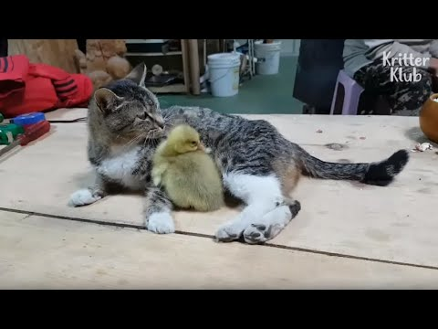 Why Has This Mom Cat Become Overprotective Towards Her Baby Goose? (Part 2)   Kritter Klub