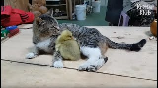 Why Has This Mom Cat Become Overprotective Towards Her Baby Goose? (Part 2) | Kritter Klub