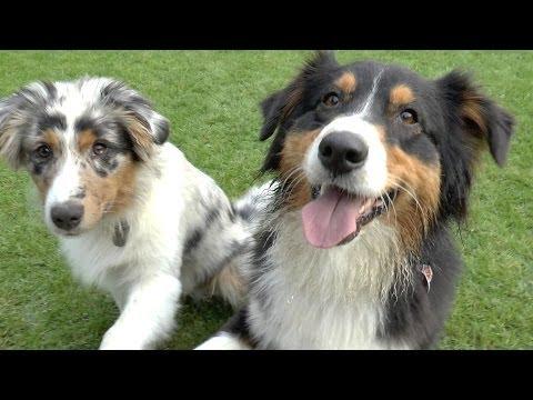 Australian Shepherd Black Tri und Blue Merle 5 Monate - Cleo und Mogli spielen - Welpen