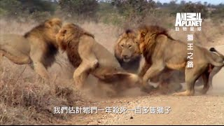 動物星球頻道 《獅王之路》 馬波侯兄弟登場