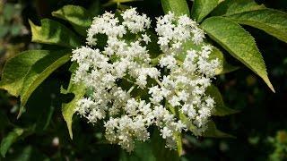 ハーブガーデン紹介5月エルダーの花-Elder-~デンのハーブガーデンより~自然のハーバルライフ-HERB-Japanese Herb Garden