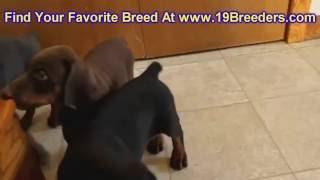 Doberman Pinscher, Puppies, For, Sale, In, Badger, County, Alaska, Ak, Kink Fairview, College