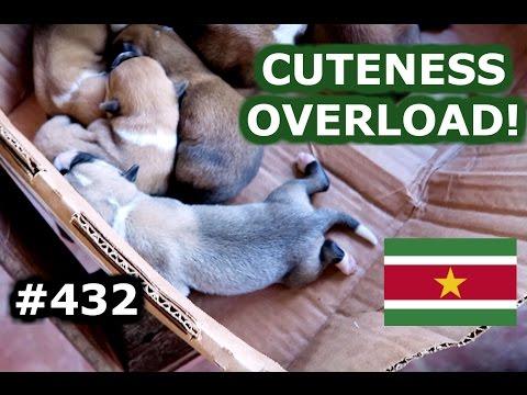 CUTE PUPPIES AND BROWNSBERG - TRAVEL VLOG 432 SURINAME | ENTERPRISEME TV