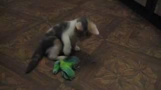 Котенок Люси, 4 день дома, осваивает новый дом и играет.